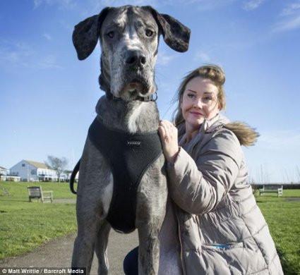 Bu köpek 2 metre 23 santim!