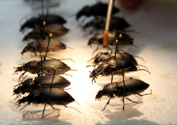 Türk bilim adamı yeni böcek türleri tespit etti