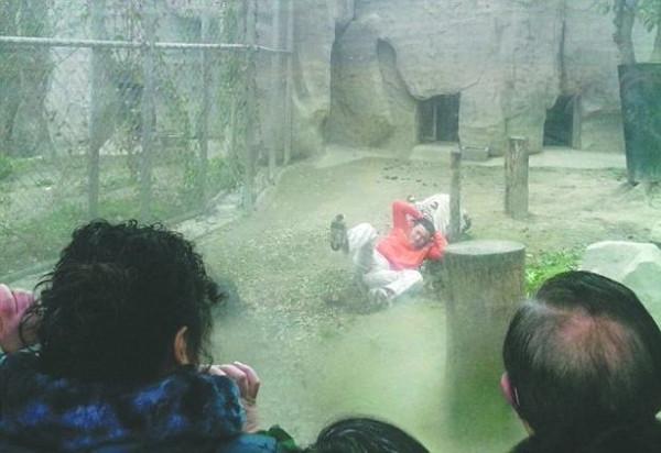 Bengal kaplanlarına yem olmak istedi