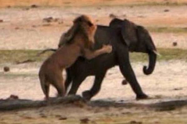 Aslanlar dev fili böyle yedi