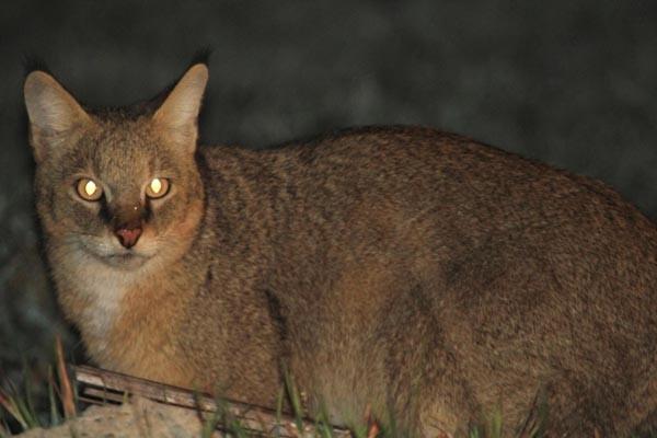Nesli tehlikedeki 'Saz kedisi' görüntülendi