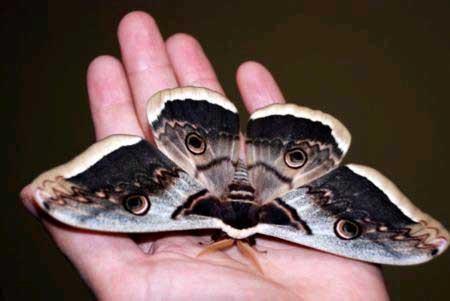 Vatandaşı korkutan gece kelebekleri