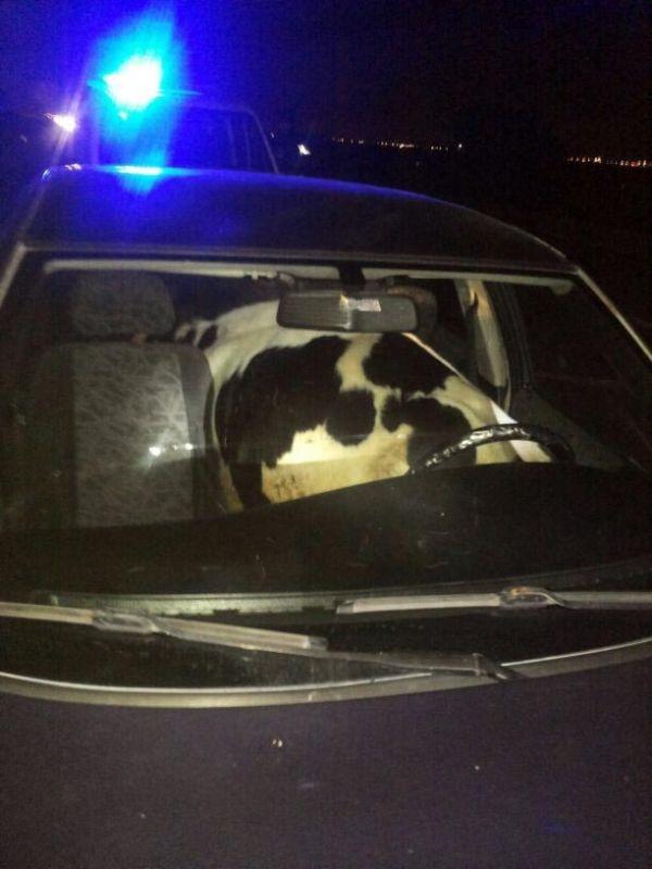 Danayı otomobille kaçırırken yakalandılar