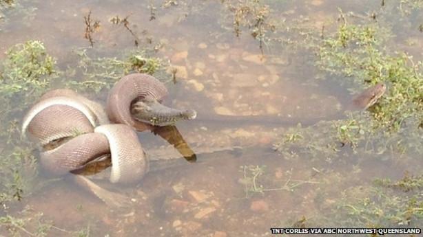 Yılan ile timsahın mücadelesi
