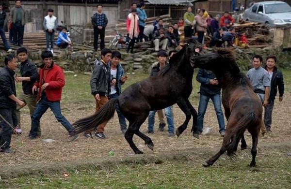Atların dehşete düşüren kavgası