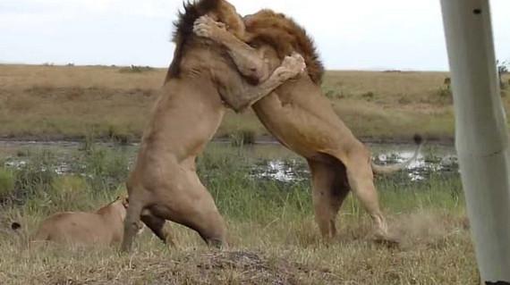 Aslanların nefes kesen savaşı