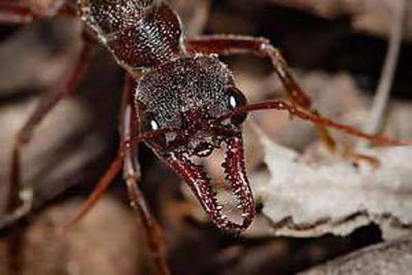 Karıncaların şaşırtıcı özellikleri