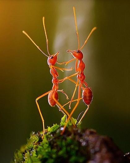 Karıncaların dansı
