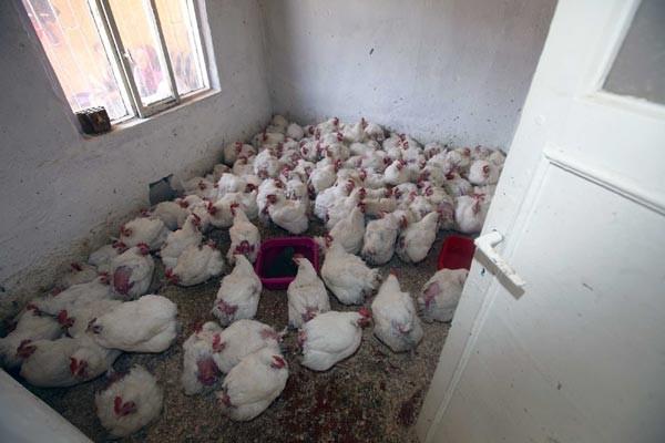 Kaçak tavuk keserken suçüstü yakalandı