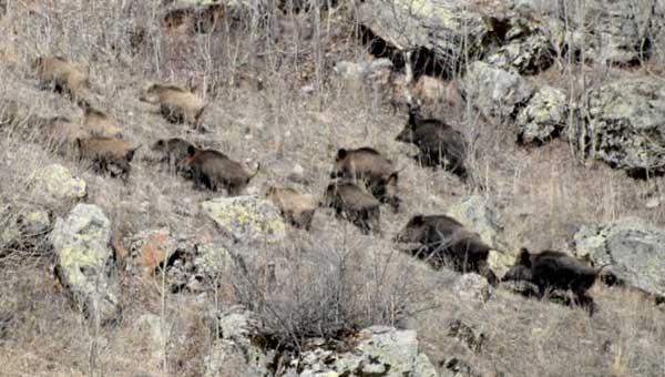 Kurt ve domuzlar kente indi