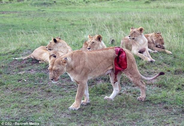 Dişi aslanın hali yürekleri parçaladı