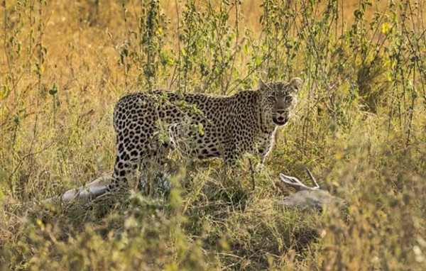 Leoparın acımasız av oyunu