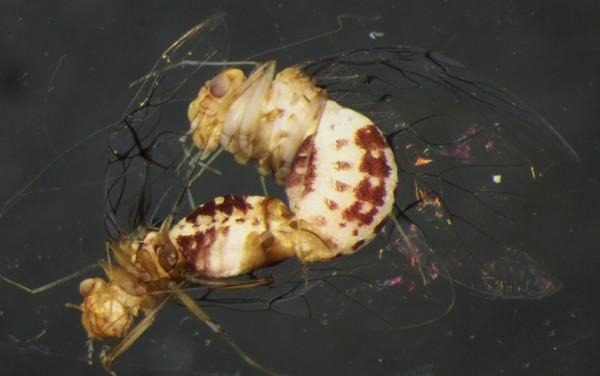 Penisli dişi vajinalı erkek böcek Neotrogla bulundu
