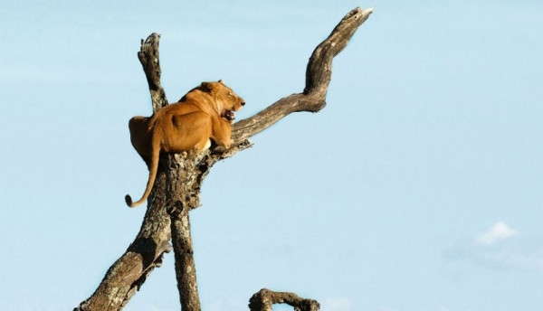 Aslan kral korkudan ağaca tırmandı