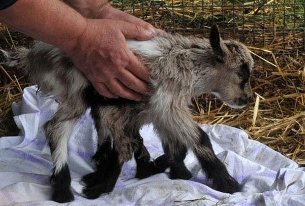 8 bacaklı keçi görenleri şaşırtıyor