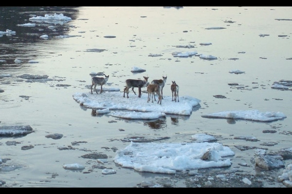 Ren geyiklerinin çaresiz bekleyişi