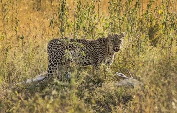 Sinsi Leoparın inanılmaz güç gösterisi