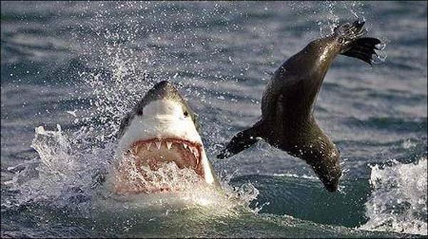 Köpekbalığının foka saldırı anı