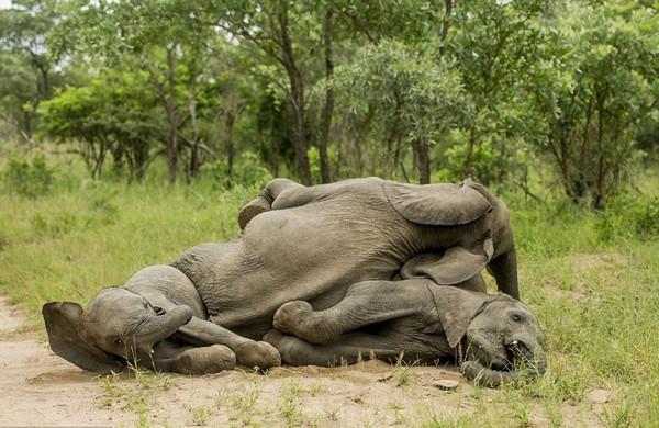 Filler de sarhoş olur!