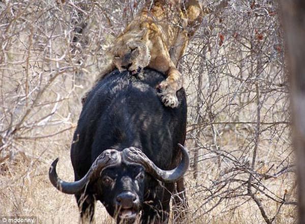Aslanların yol ortasında av partisi