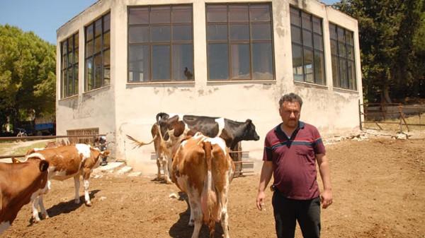Lüks otel ineklere barınak oldu!