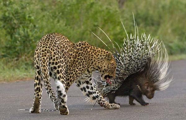 Aç leopar kirpiye diş geçiremedi