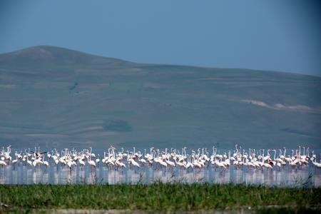 Flamingolar Van Gölü havzasına güzellik kattı
