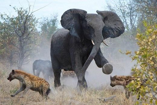 Anne fil sırtlanlara saldırdı