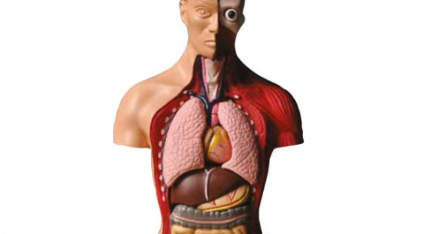 Hangi organ ne kadar sürede yenileniyor