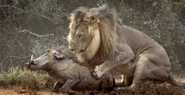 Domuzun aslanla karşı karşıya geldiği an