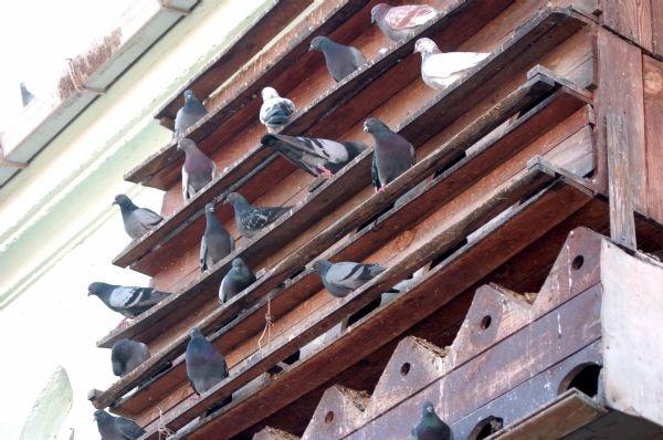 Ünlü komedyenin güvercinlerine yoğun ilgi!