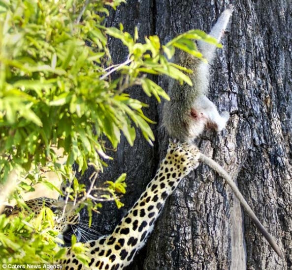 Leoparın 3 saatlik av oyunu