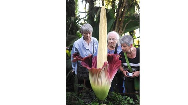 Dünyanın en büyük çiçeği açtı