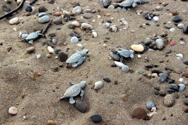 Yavru caretta carettalar denizle buluştu