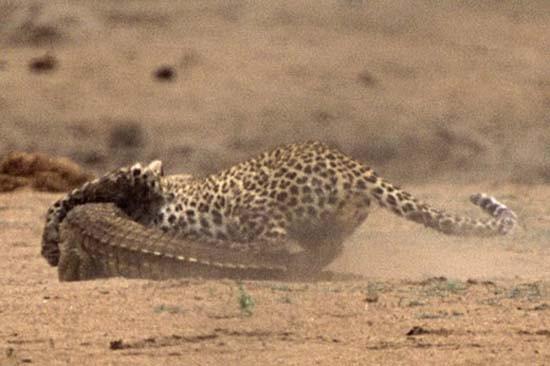 Leoparın timsah avı