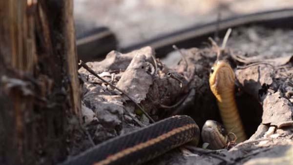 Yılanların göçü dehşete düşürdü