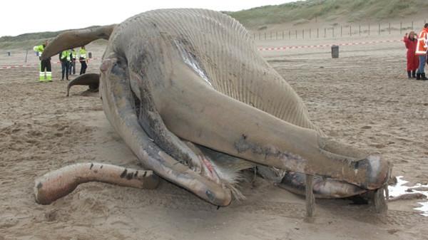 Ölü balina sahile çekildi