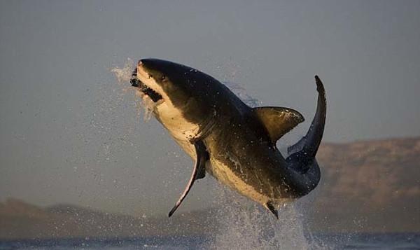 Köpekbalığının müthiş av anı
