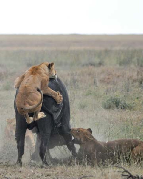 Aslanlara karşı böyle mücadele etti