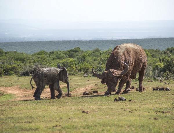 Yavru fil bufaloya kafa tutarsa ne olur?