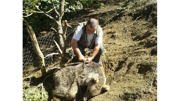 Boz ayı domuz kapanına düştü
