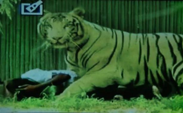 Vahşi kaplan, Hint genci böyle öldürdü
