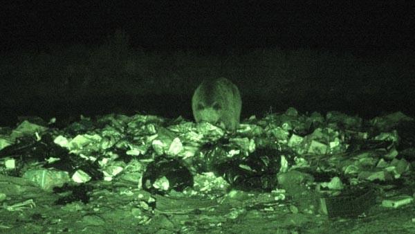 Çöplükte ayılarla selfie