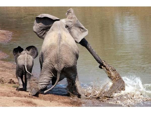 Yavru fil zekasıyla annesini kurtardı