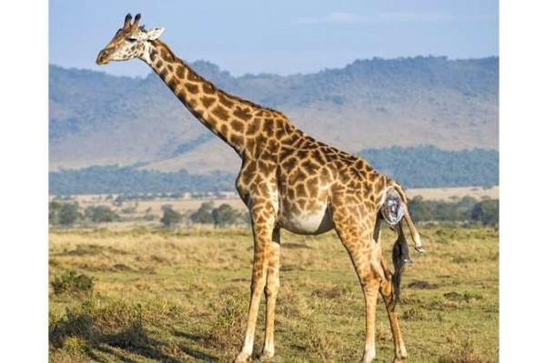 Zürafanın doğum anı