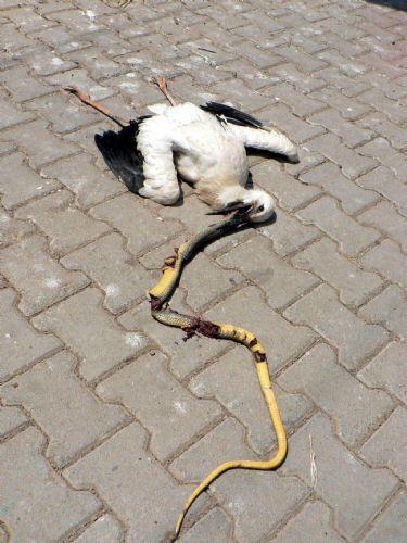 Leylek 1.5 metrelik yılanı yutamadı!
