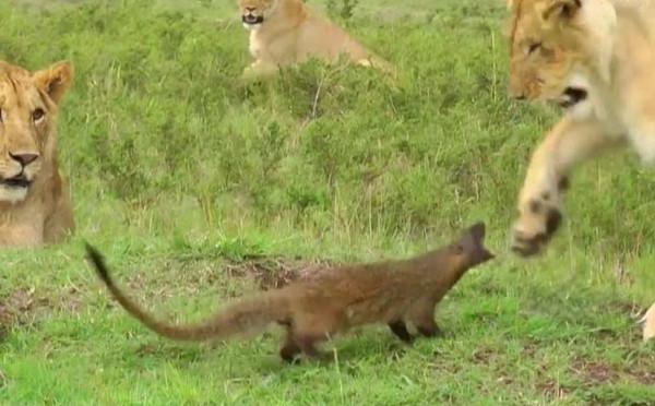 Küçük gelincik koca aslana böyle kafa tuttu