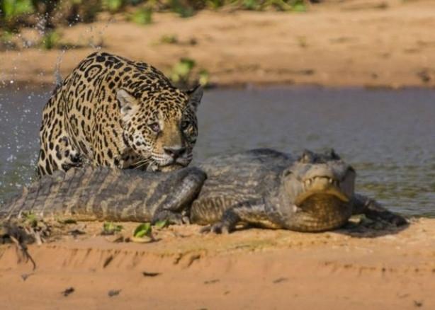 Avını sessizce bekleyen jaguar