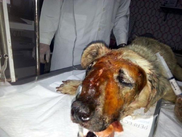 Sokak köpeğine çivili sopayla işkence