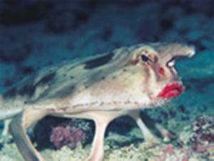Kızıl dudaklı balık